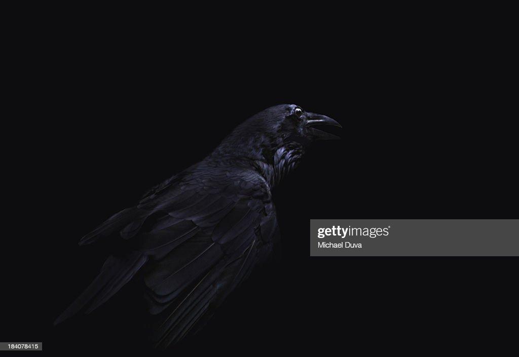studio shot of crow on black background