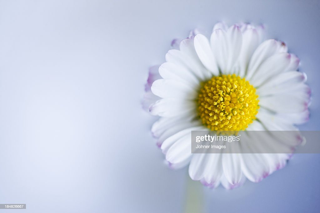 Studio shot of daisy