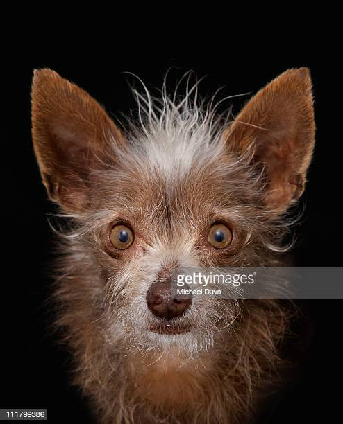 studio shot of dog black background, Chihuahua