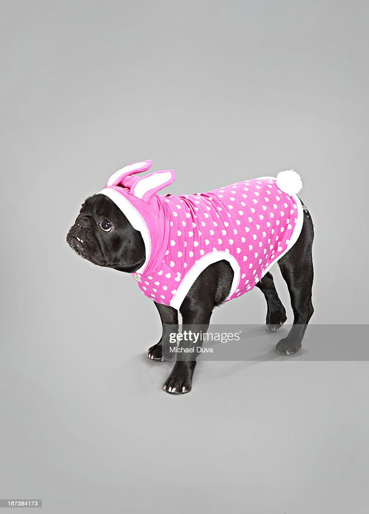 studio shot of dog in costume on gray background : Stock Photo