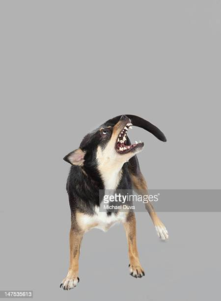 Studio shot of Dog on Gray Background