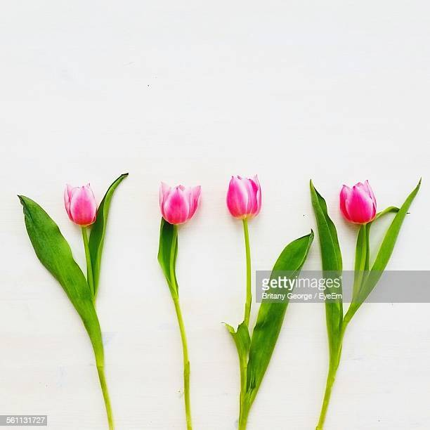 Studio Shot Of Four Tulips