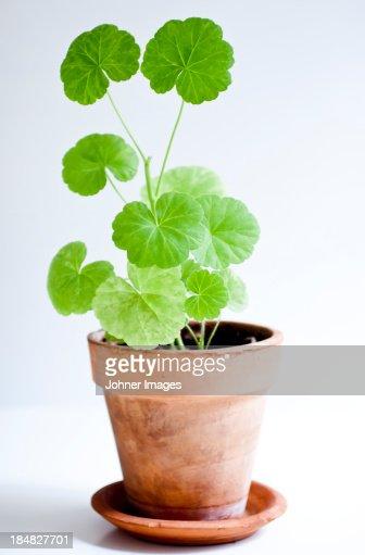 Studio shot of geranium in pot