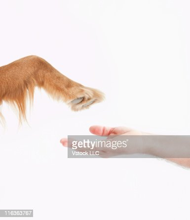 Studio shot of Golden Retirever's paw and man's hand
