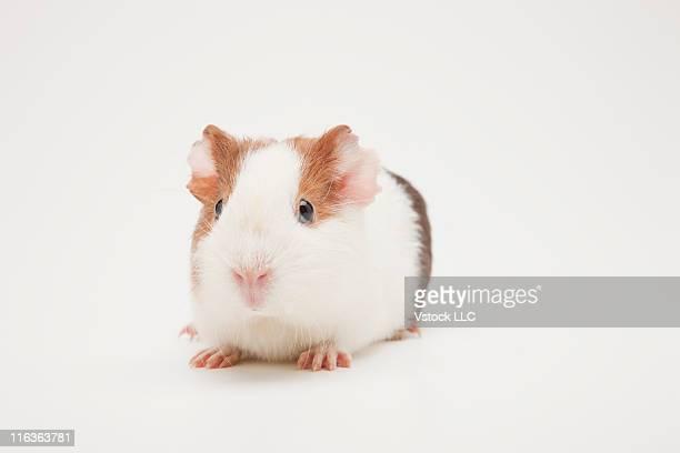 Studio shot of Guinea Pig