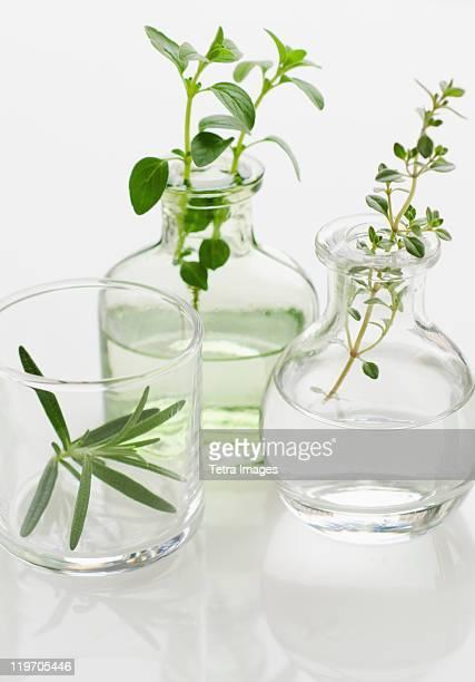 Studio shot of herb seedlings