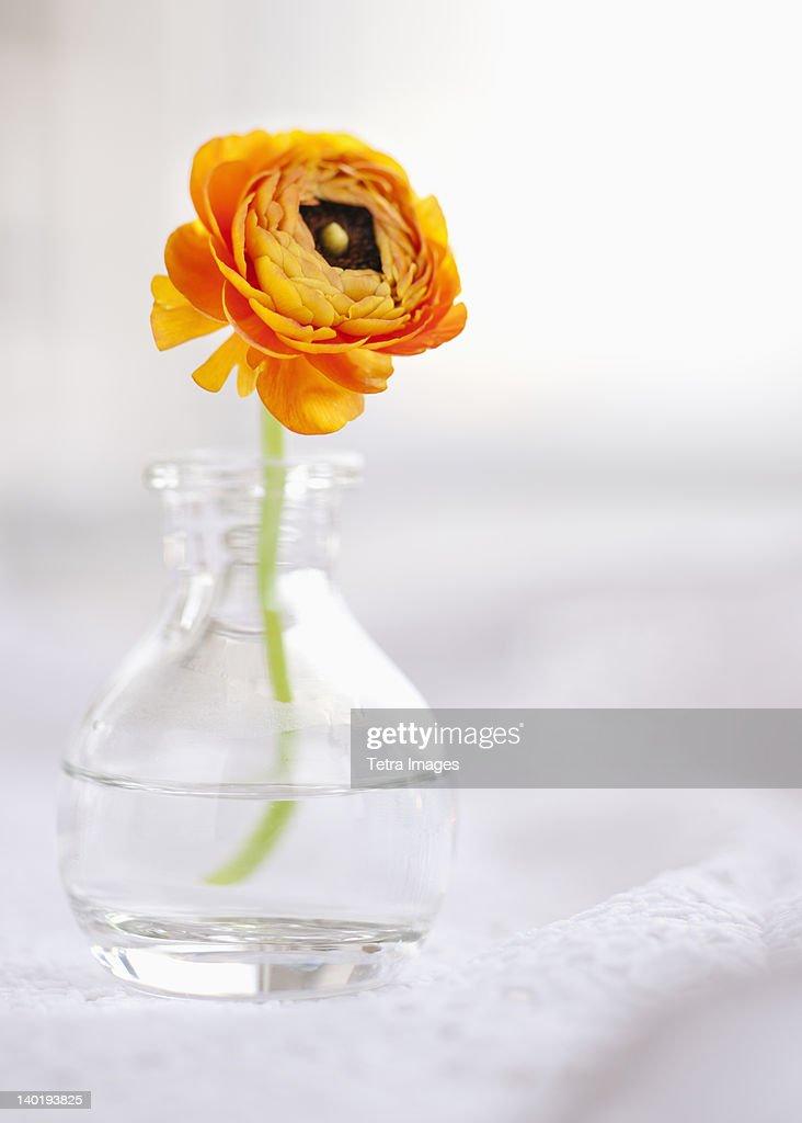 Studio shot of orange Ranunculus in glass vase : Stock Photo