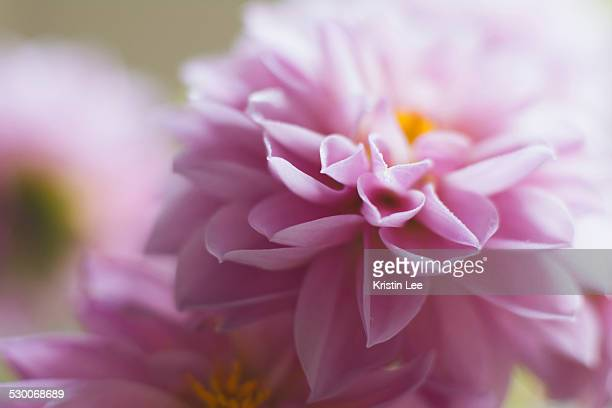Studio shot of pink dahlia in selective focus