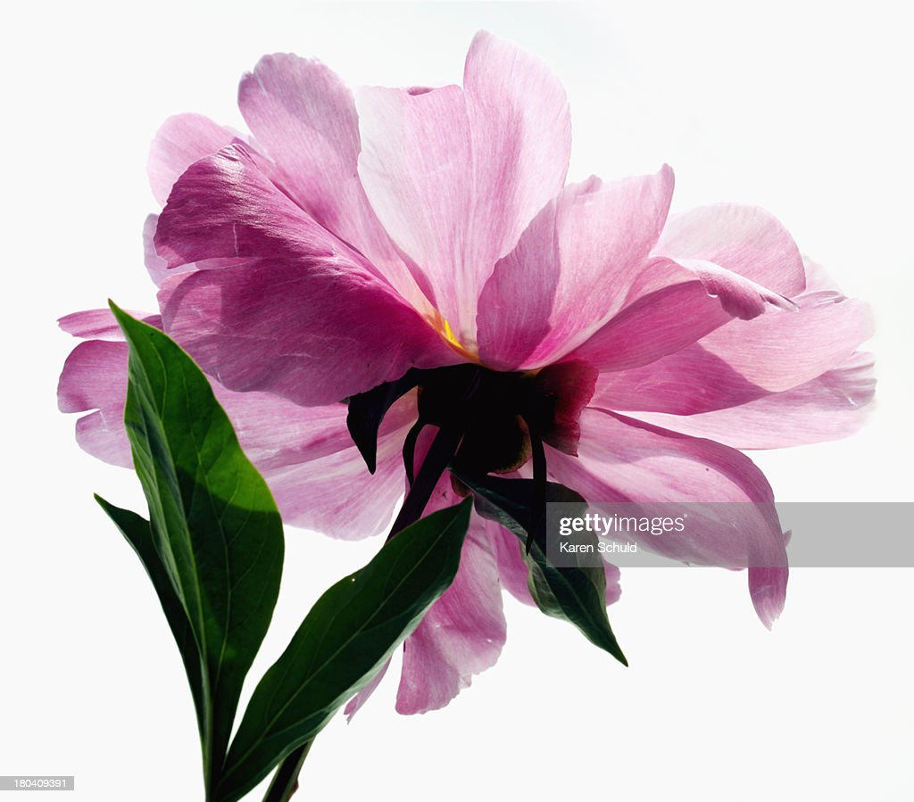 Studio Shot of pink peony : Stock Photo