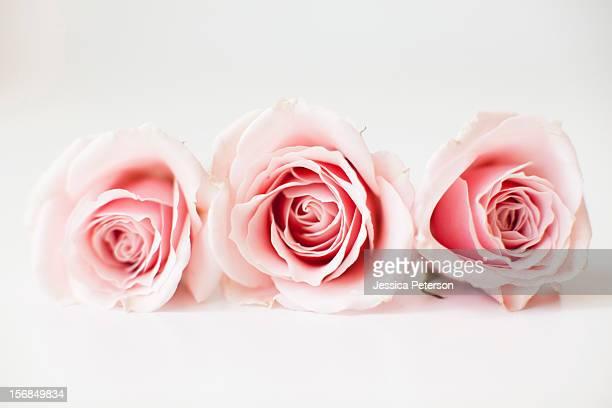 Studio shot of pink roses