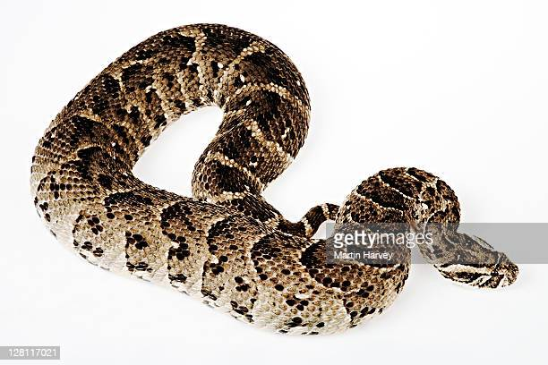 Studio shot of Puff Adder, Bitis arietans. Large venomous viper that inhabits savannah and grasslands. This viper strikes readily, injecting cytotoxic venom into prey with long fangs. Most common and widespread snake in Africa found from Morroco to South A