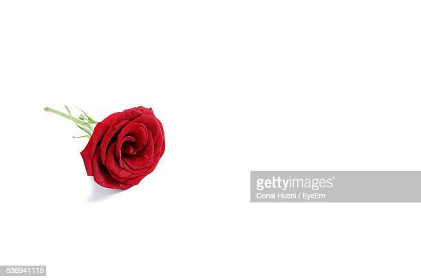 Studio Shot Of Red Rose On White Background