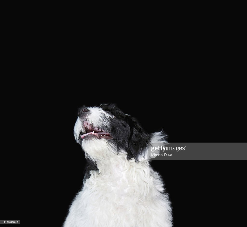 studio shot of Spaniel/Poodle mixed breed on black : Stock Photo