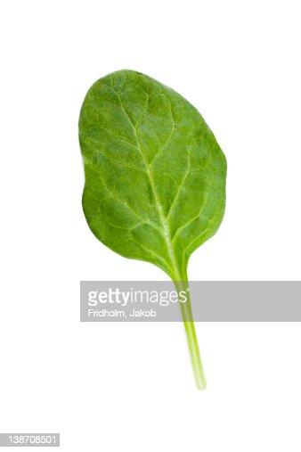 Studio shot of spinach leaf
