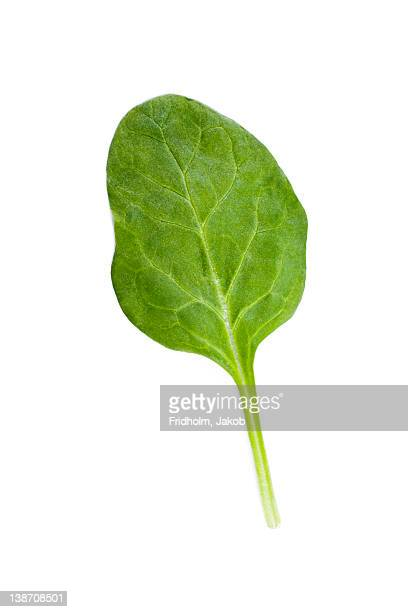 Studio shot of spinach leaf