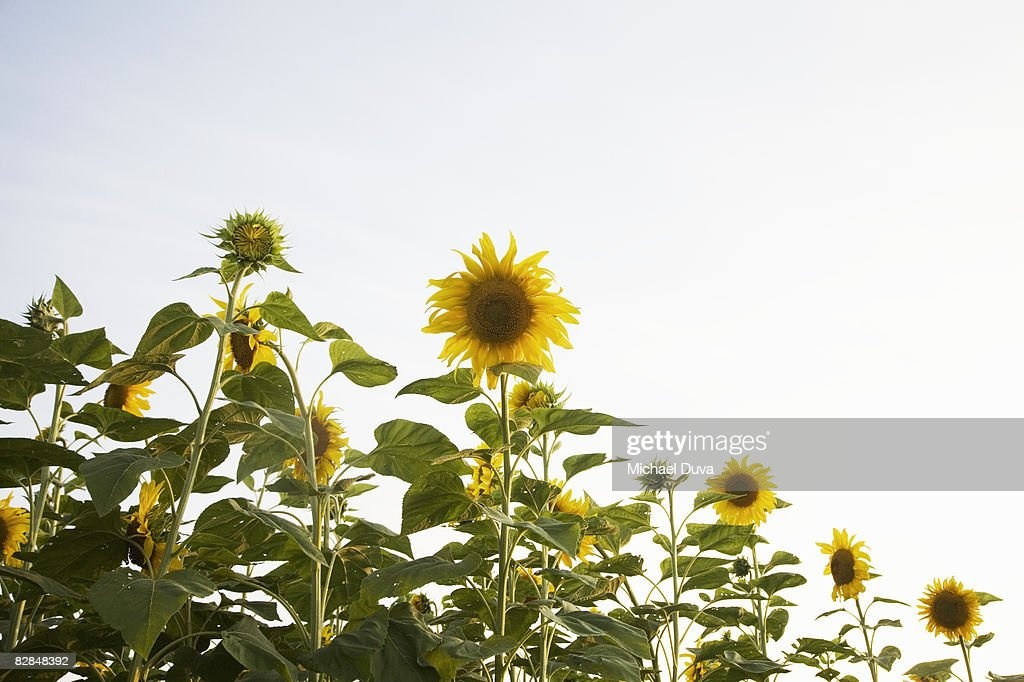 studio shot of sunflowers  : Stock Photo