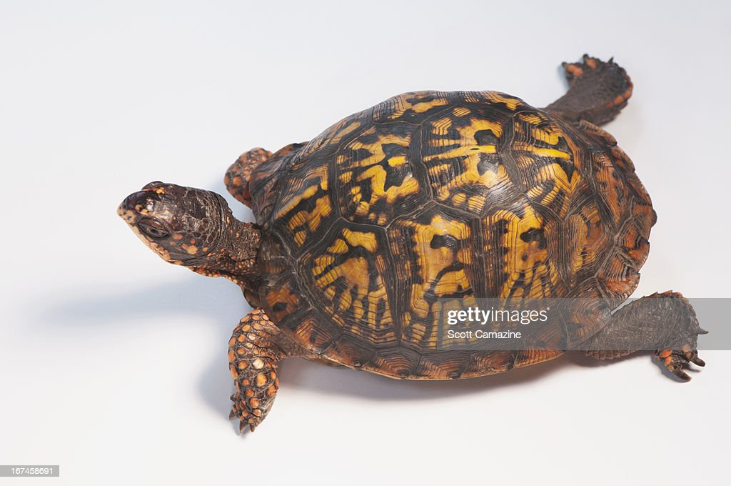Studio shot of turtle : Stock Photo