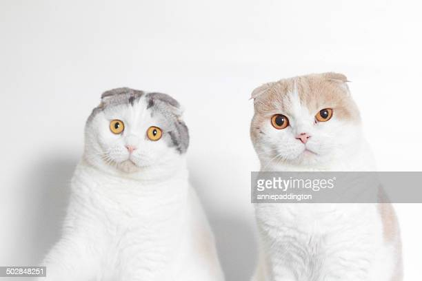 Studio shot of two Scottish folds looking puzzled