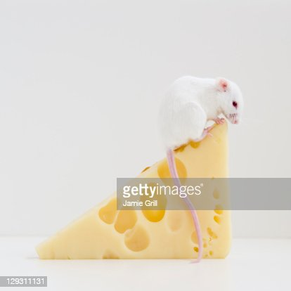 Studio shot of white mouse sitting on top of slice of cheese