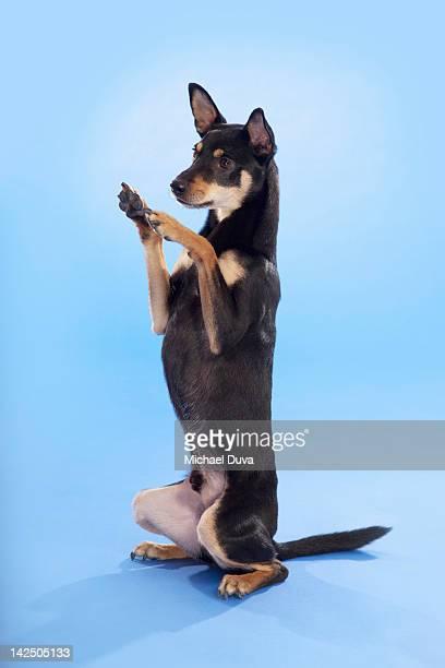 Studio shot, Portrait of a Dog begging
