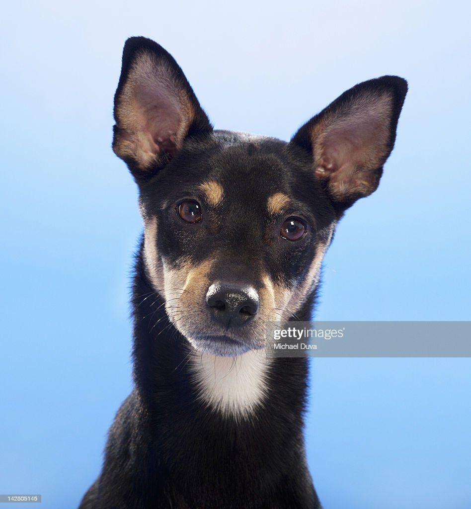 Studio shot, Portrait of a Dog