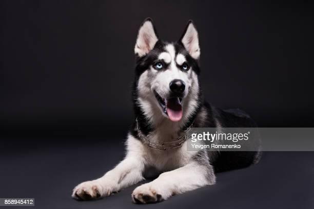 Studios shot of beautiful Siberian husky dog on dark background