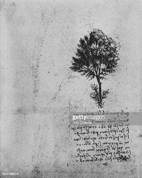Study of a Tree' c1480 From The Drawings of Leonardo da Vinci [Reynal Hitchcock New York 1945] Artist Leonardo da Vinci