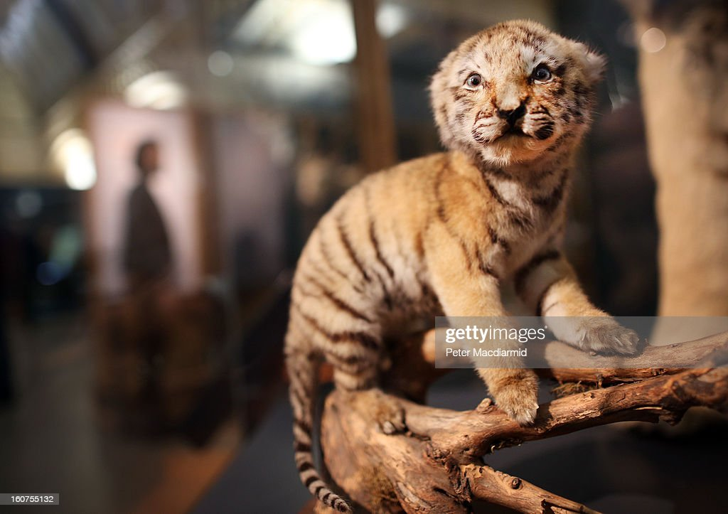 A stuffed baby tiger sits in a glass box at the 'Extinction: Not the End of the World?' exhibition at The Natural History Museum on February 5, 2013 in London, England. More than 99 percent of species that once roamed the planet are now extinct. Organisers of the exhibition hope to show that a diverse range of plants and animals survived. 80 Museum specimens are on display from February 8-8, September 2013.