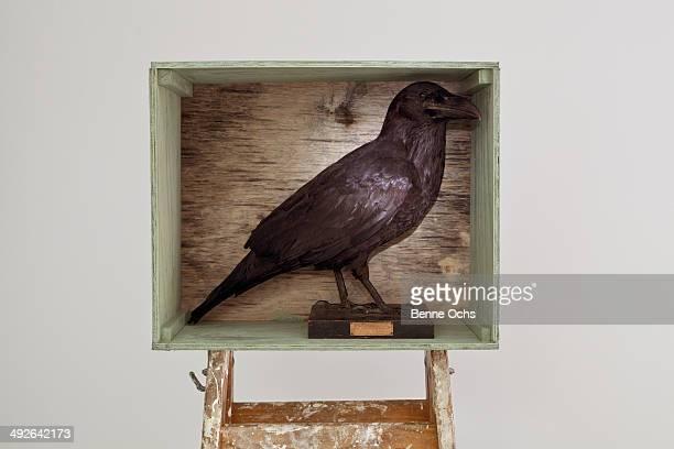 Stuffed crow in a shadow box