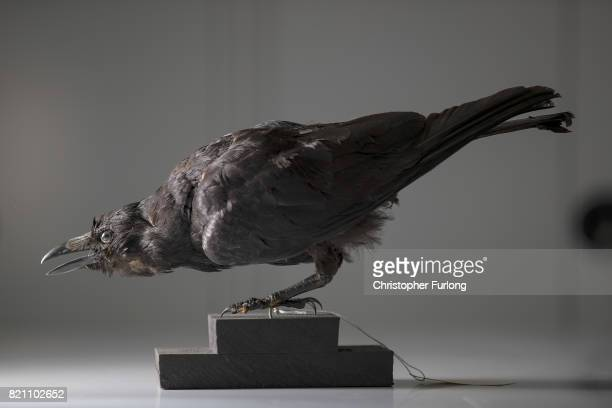 A stuffed crow sits in the laboratory of Natural History Conservator Lucie Mascord of Lancashire Conservation Studios as part of a the major...