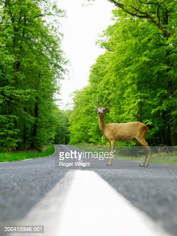 Stuffed deer on country road, ground view : Stock Photo