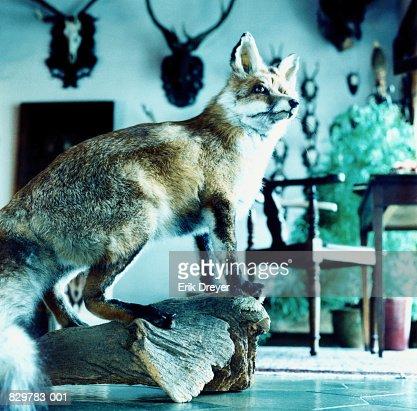 Stuffed fox : Stock Photo