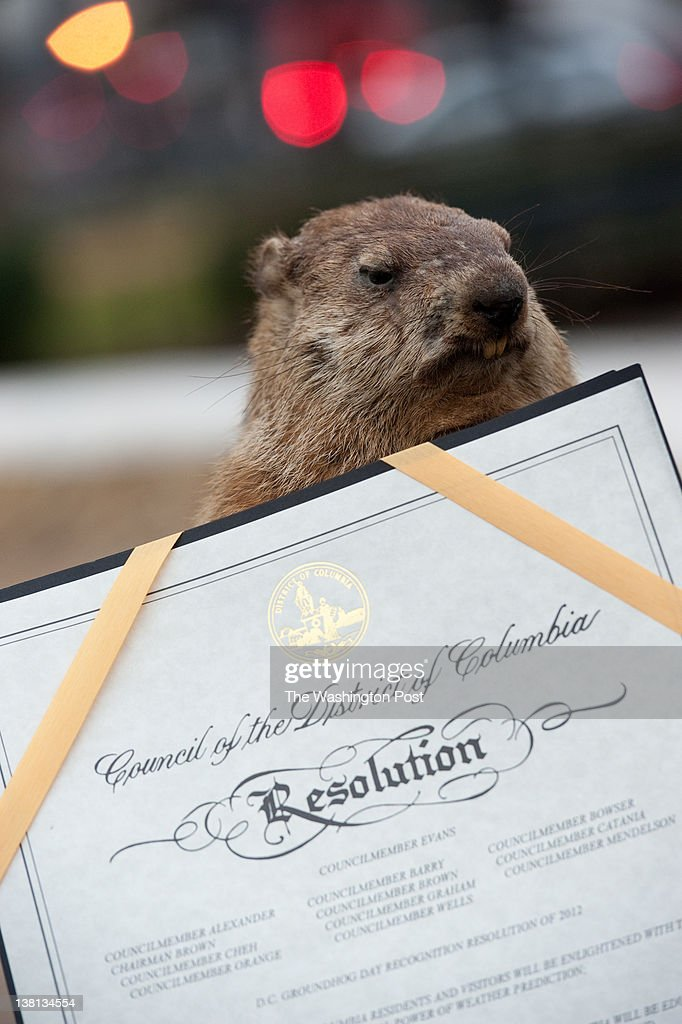 A stuffed groundhog, 'Potomac Phil', pictured, predicted six more weeks of winter during Washington DC's first annual groundhog day celebration in Dupont Circle. Ward 2 councilman Jack Evans and other local politicians were in attendance. A DC Groundhog Day recognition resolution passes by the Council of DC leans against the groundhog.