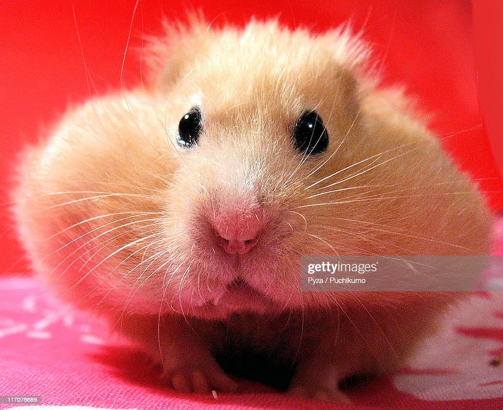 Stuffed hamster Chmurka : Stock Photo
