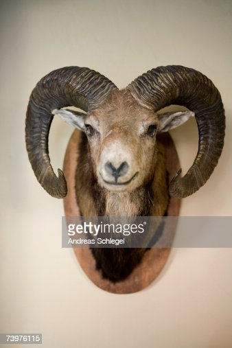 Stuffed head of a Bighorn Sheep