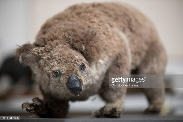 A stuffed koala sits in the laboratory of Natural History Conservator Lucie Mascord of Lancashire Conservation Studios as part of a the major...