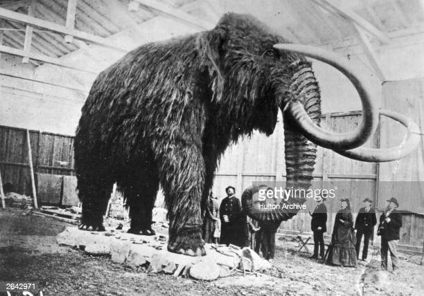 A stuffed mammoth excavated from ice in Siberia is exhibited in St Petersburg Museum