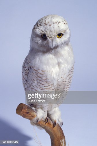 Stuffed Snowy Owl