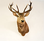 Stuffed stag on blank wall
