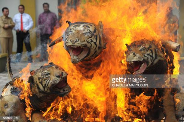 Stuffed Sumatran tigers ivory and other wildlife trophies seized during recent raids are set on fire by Indonesian officials in Banda Aceh on May 23...