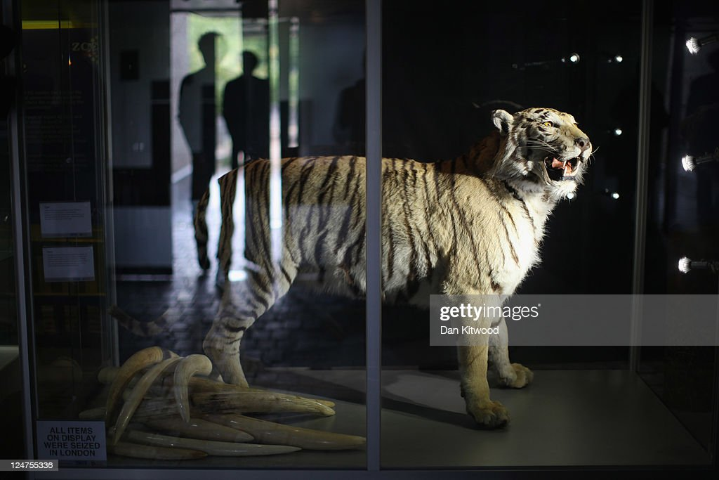 A stuffed Tiger is displayed at an 'Endangered Species' exhibition at London Zoo on September 12, 2011 in London, England. The exhibition is organised by 'Operation Charm', a Metropolitan Police partnership aimed at tackling the illegal trade in endangered wildlife and runs for one month at London Zoo. Items include a 10 week old stuffed Tiger cub, the tooth of a sperm whale, Ivory carvings, and a stuffed Tiger.