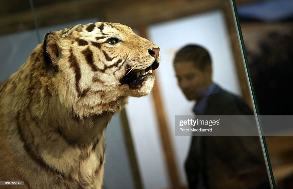 A stuffed tiger sits in a glass box at the 'Extinction: Not the End of the World?' exhibition at The Natural History Museum on February 5, 2013 in London, England. More than 99 percent of species that once roamed the planet are now extinct. Organisers of the exhibition hope to show that a diverse range of plants and animals survived. 80 Museum specimens are on display from February 8-8, September 2013.