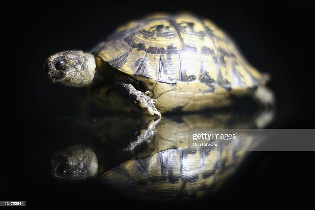 A stuffed tortoise is displayed at an 'Endangered Species' exhibition at London Zoo on September 12, 2011 in London, England. The exhibition is organised by 'Operation Charm', a Metropolitan Police partnership aimed at tackling the illegal trade in endangered wildlife and runs for one month at London Zoo. Items include a 10 week old stuffed Tiger cub, the tooth of a sperm whale, Ivory carvings, and a stuffed Tiger.
