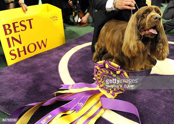 Stump the Sussex Spaniel stands in the trophy after winning 'Best In Show' during the 2009 133rd Westminster Kennel Club dog show at Madison Square...