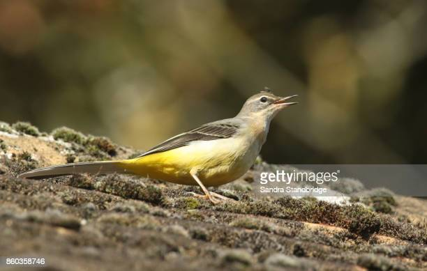 A stunning Grey Wagtail (Motacilla cinerea) perched on a roof with its beak open calling.