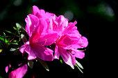 stunning pink Azalea