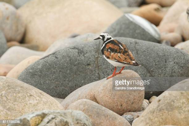 A stunning Turnstone (Arenaria interpres) in summer plumage perched on a rock in Orkney, Scotland.