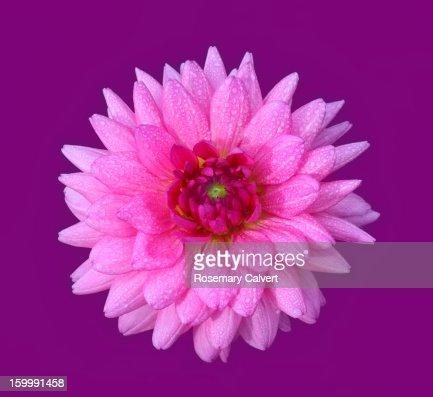 Stunningly bright pink dahlia flower on purple : Stock Photo
