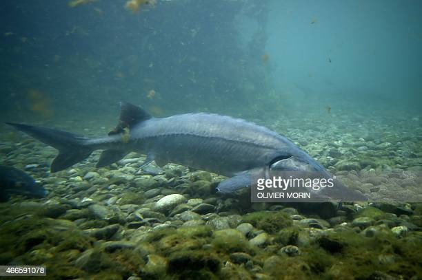 A sturgeon is photographed in a pool of the Agro Ittica Lombarda sturgeons farm a world leader in production and distribution of caviar on March 16...