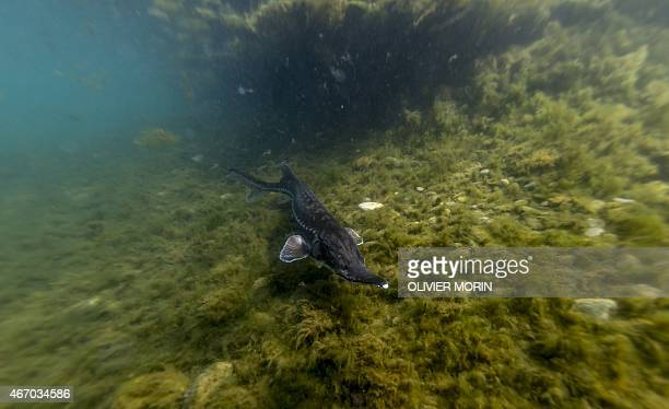 CHAON A sturgeon is photographed in a pool of the Agro Ittica Lombarda sturgeons farm a world leader in production and distribution of caviar on...